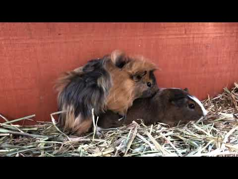 Guinea Pig Mating #3 | Sharon And Borris
