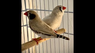 """Zebra Finch"" How to breed Zebra FInches step by step."