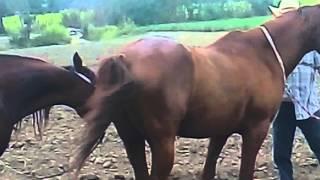 Apareamiento de caballos thumbnail