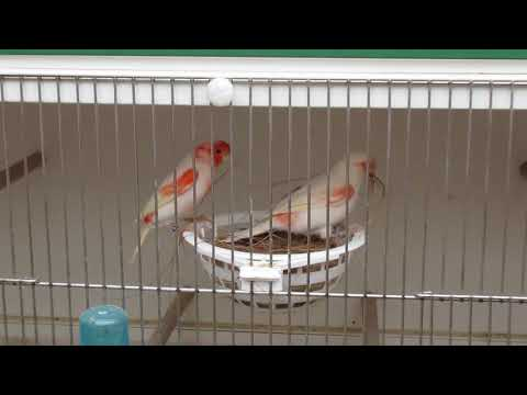 Canary Breeding Red mosaic 2018 Part 1 A