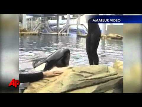 Whale That Killed Trainer Back At SeaWorld Show