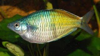 аквариумные рыбки, Меланотения Боэсмана, Melanotaenia boesemani цены на аквариумных рыбок