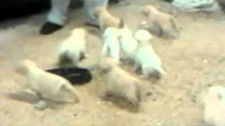 Being Chased By 12 Lab Puppies!!