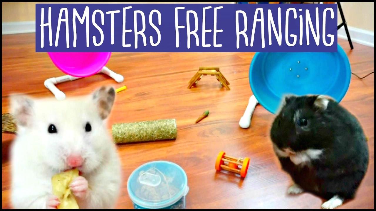 Hamster chat livegirls