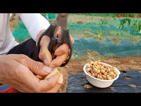 쪽파(골파)재배방법 및 병해충방제와 종자보�