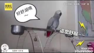 爆笑!鸚鵡唱自創歌 越聽越18禁