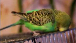 попугайчик чешется