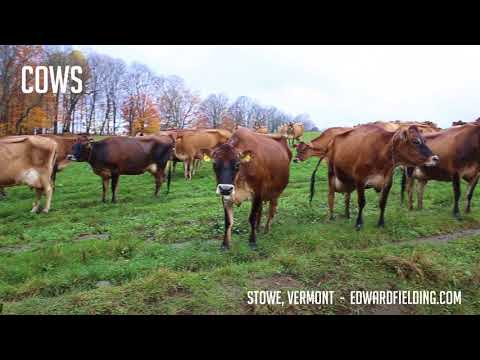 Dairy Cows Stowe Vermont