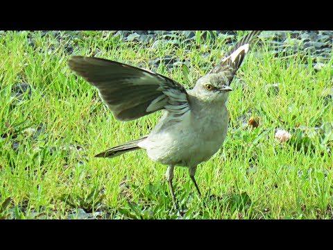 Northern Mockingbird : Song and behavior