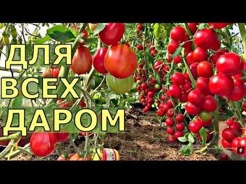 СЕМЕНА томатов БЕСПЛАТНО для подписчиков.