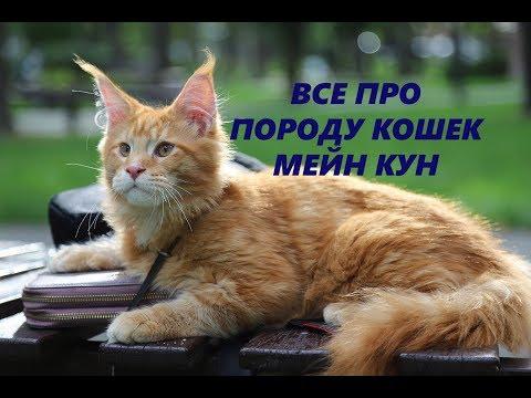 КОШКИ МЕЙН КУН ВСЕ О ПОРОДЕ �� ЗАБАВНЫЕ ФАКТЫ О МЕЙН КУНАХ / БОЛЬШИЕ КОТЫ MAIN COON CATS