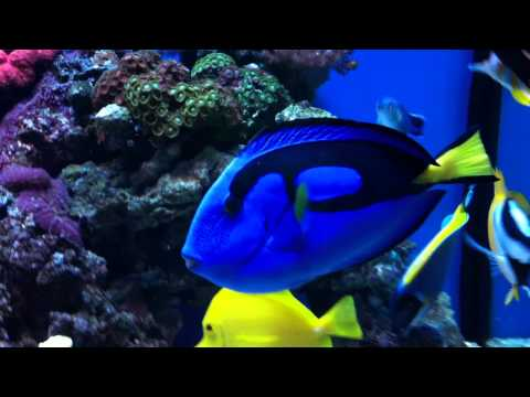 Regal Blue Tang, Has White Spot & Ich For Three Years Now