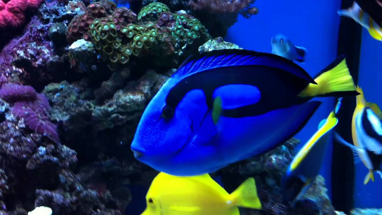 Fish aquarium white spots - Regal Blue Tang Has White Spot Ich For Three Years Now Keep On Swimming Youtube