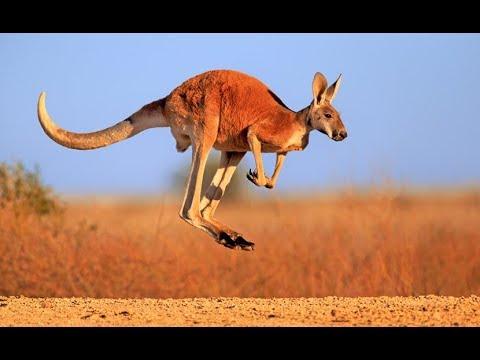 Kangaroo - Australian Kangaroos Documentary (Kangaroo Life)