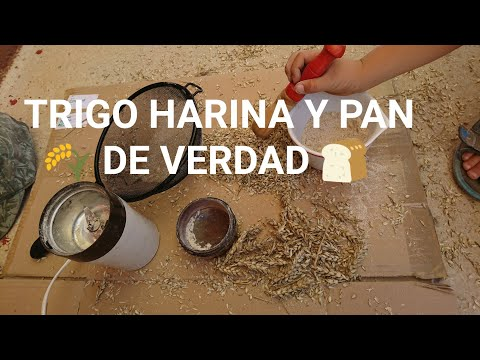 CÓMO HACER HARINA y PAN en CASA con NIÑOS | Cosechamos TRIGO, lo molemos y hacemos TORTAS de PAN