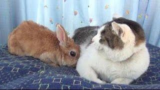 【猫の方がビビってる~!猫部屋にウサギがいてなぜか戸惑う猫!】 Cat rabbit the bewildered cat room thumbnail