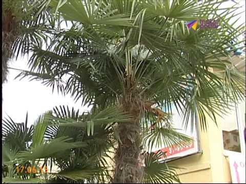 хамеропс пальма фото