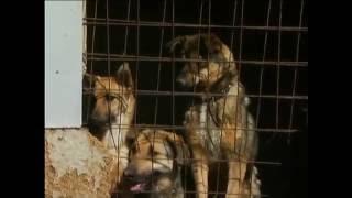 Красноярцы стали чаще хирургически уменьшать громкость лая собак
