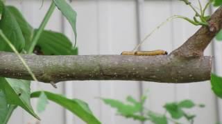 意外と可愛い?2匹のコブシハバチの幼虫 thumbnail
