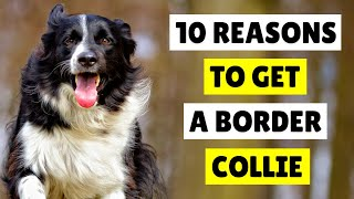 10 Reasons Why YOU SHOULD Get A BORDER COLLIE  DOGS 101