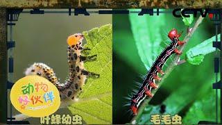 叶蜂宝宝和毛毛虫的区别 20201212  《动物好伙伴》CCTV少儿 - YouTube