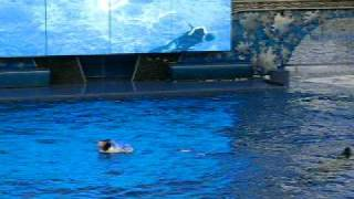 Believe - SeaWorld - Orlando - Killer Whale Tilikum (Shamu)