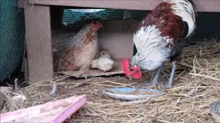 어미닭의 병아리 훈육