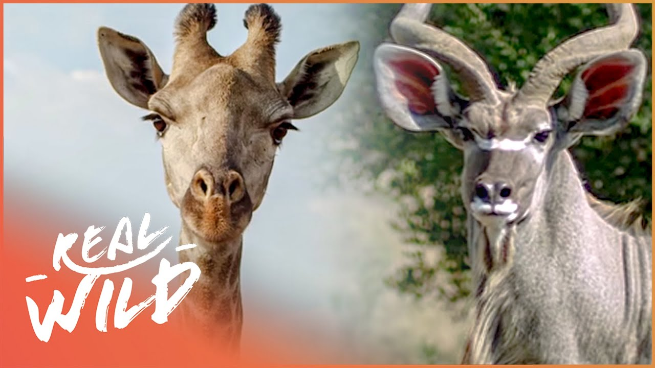Animal Odd Couples Youtube antelope & giraffe fall in love in the wild!| wild thing shorts