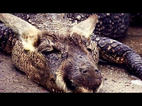 CROCAROO (Croc/Kangaroo Hybrid?) And More! INCREDIBLE CREATURES, Volume 2. (Fact Or Photo-shopped?!)