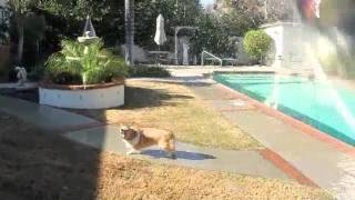 Welsh Corgi Ein Playing With Water