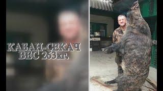 Охота на секача весом 263кг с лайками - Июль 2019