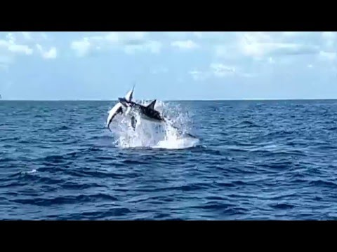 Shark Eating Sailfish - Mako Attacking Sailfish - Bouncer's Dusky 33 - Hometown Realty