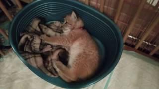 Кошка, она и есть кошка (восточно сибирская рысь)