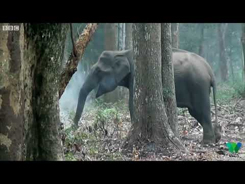 India 'smoking' elephant video goes viral