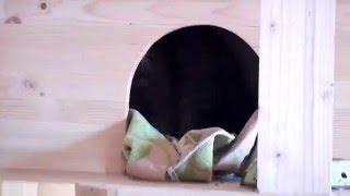 Бенгальская кошка F1 от Амурского леопардового кота
