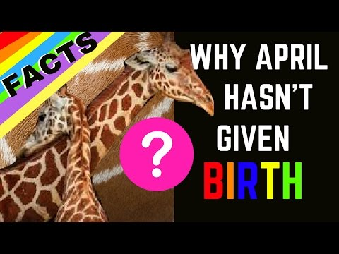 Thumbnail: THE TRUTH: Why April the Giraffe Hasn't Given Birth (Is it all a Conspiracy?!)