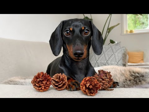 Dachshund plays with pine cones.