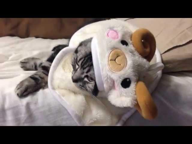 【Cute Cat】羊の着ぐるみを着る猫
