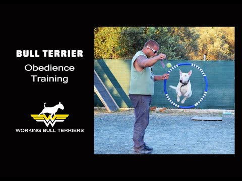 Bull Terrier obedience training