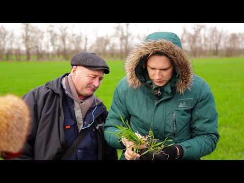 Посевы озимых зерновых после зимы - максимальный потенциал сорта