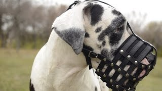 Great Dane, Rottweiler And Other Dogs Wear Everyday Leather Basket Muzzle