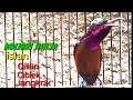 Burung Kolibri Ninja Full Isian Cocok Buat Pancingan Dan Masteran  Mp3 - Mp4 Download