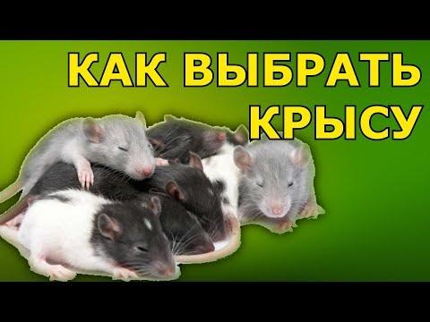 Вопрос: Стоит ли покупать декоративную крысу ребенку?