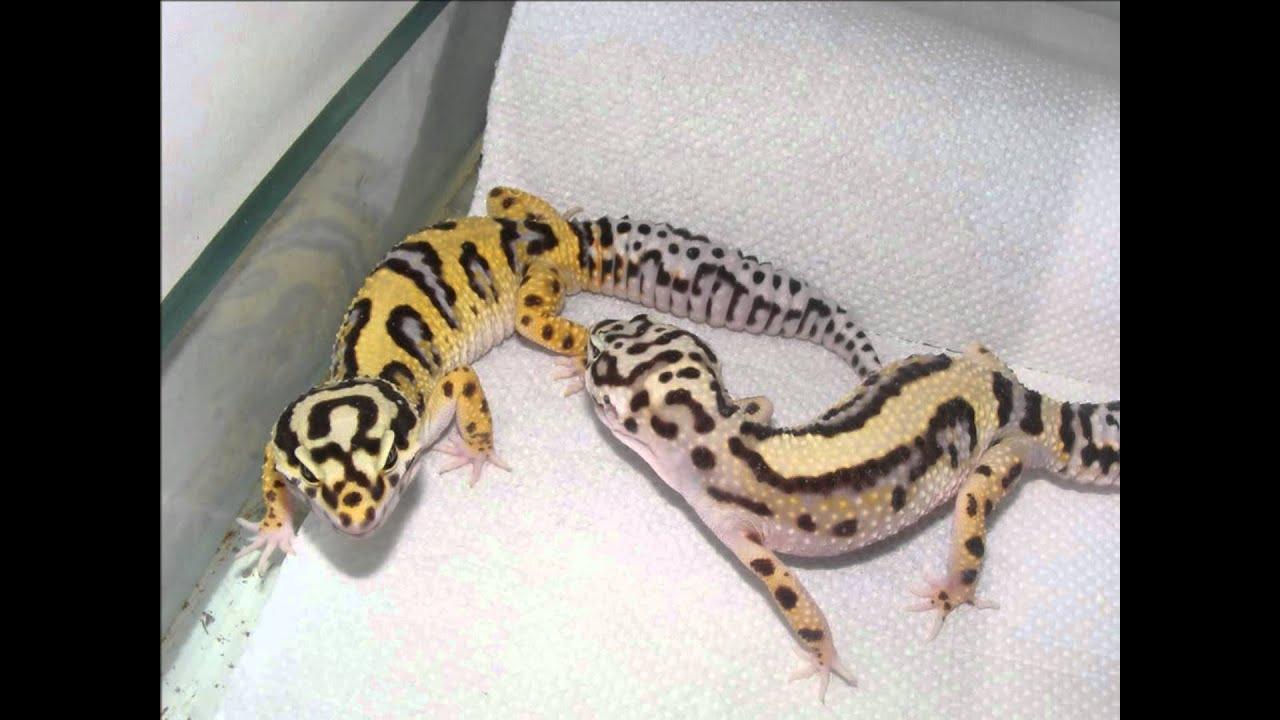 Leopard Gecko Color Morphs
