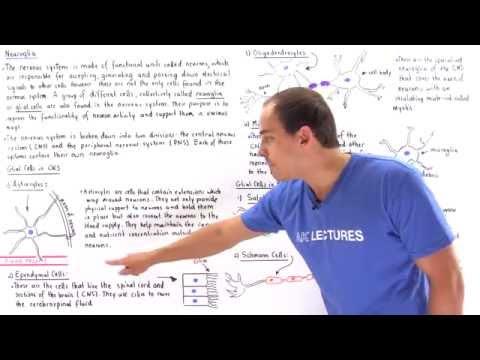 Types of Neuroglia (Glial Cells)