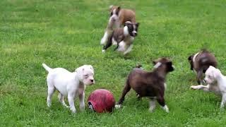 Boxer Puppies For Sale Marlin Speicher