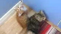 Kissan mouruaa