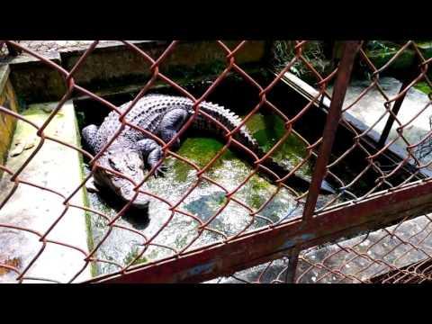 Thay nước và cho cá sấu ăn (water change and feeding my crocodile)