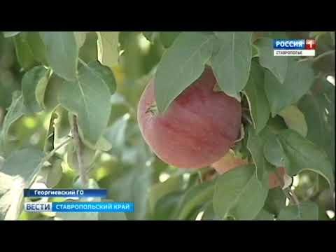 Какой сорт ставропольских яблок самый сладкий