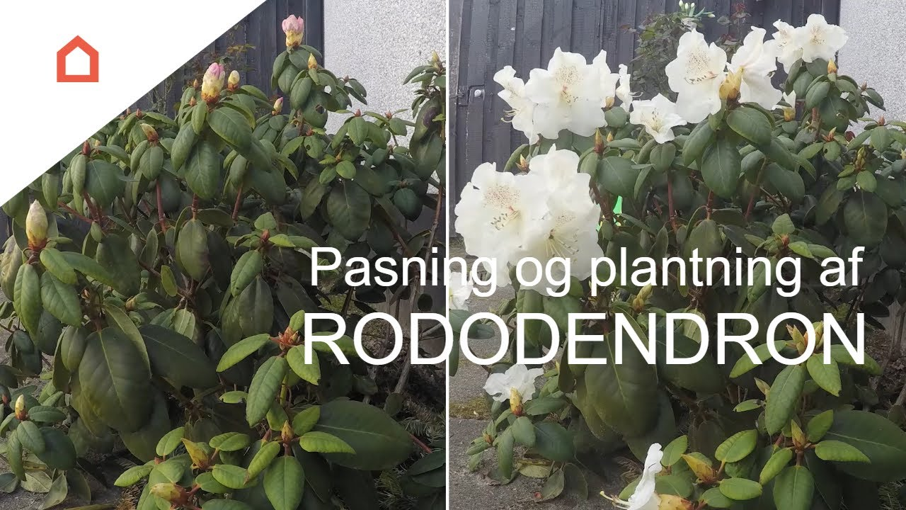 flytning af rhododendron